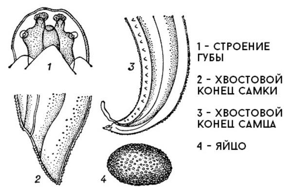 Строение гельминта