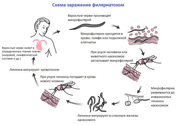 Схема заражения филяриатозом