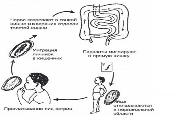 Жизненный цикл острицы