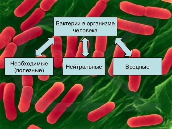 Разновидности бактерий в организме
