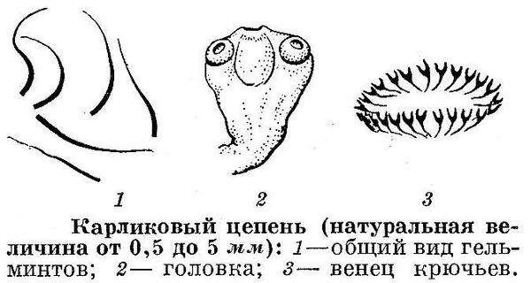 Голова карликового цепня