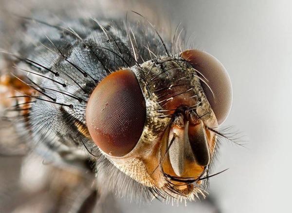 Комнатная муха может вызвать случайный миаз