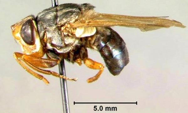 Тропическая муха, возбудитель миаза