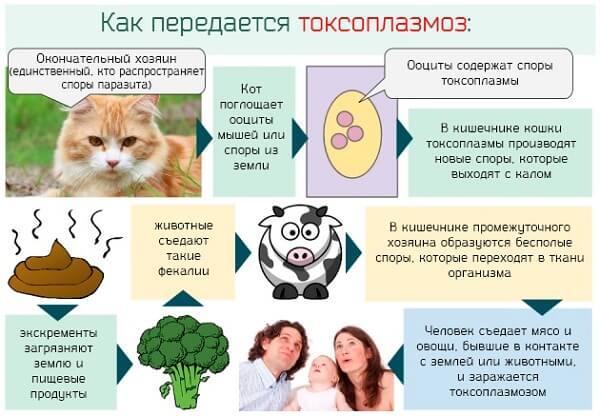 Передача токсоплазмоза