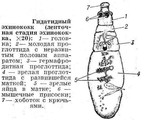 Внутреннее строение паразита