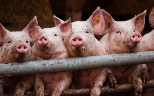Чаще всего трихинеллез диагностируют в свином мясе