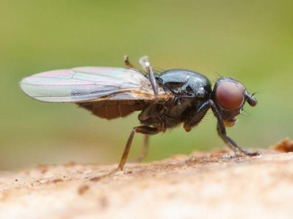 Сырная муха бывает причиной энтомоза
