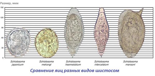 Сравнение яиц разных видов шистосом