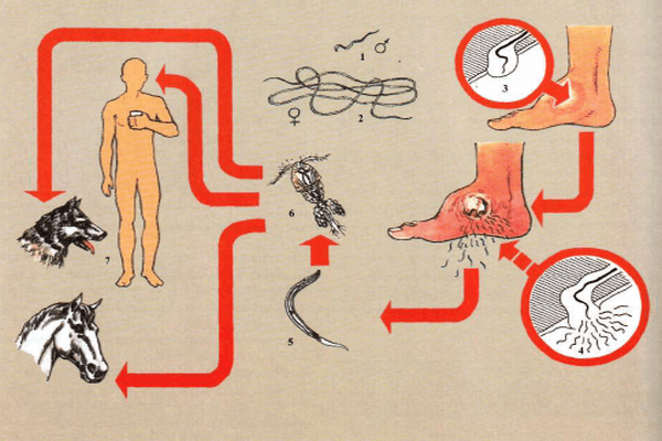 Жизненный цикл и способ распространения ришты