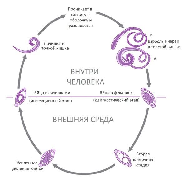 Путь развития гельминта