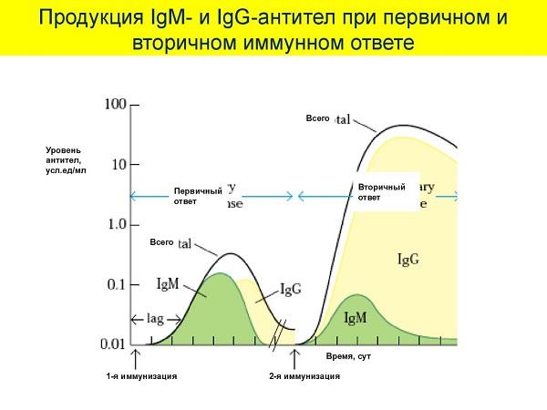 Первичный и вторичный иммунный ответ