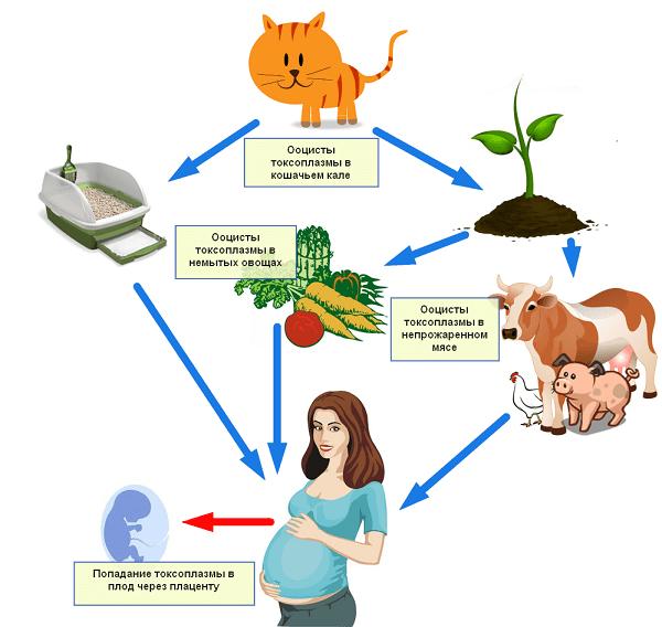 Путь заражения беременной