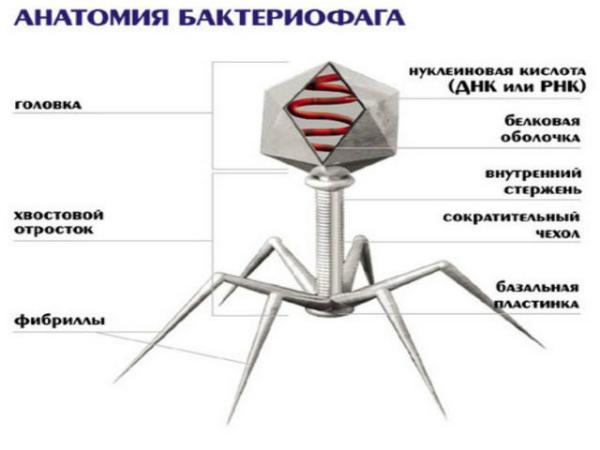 Анатомия бактериофага