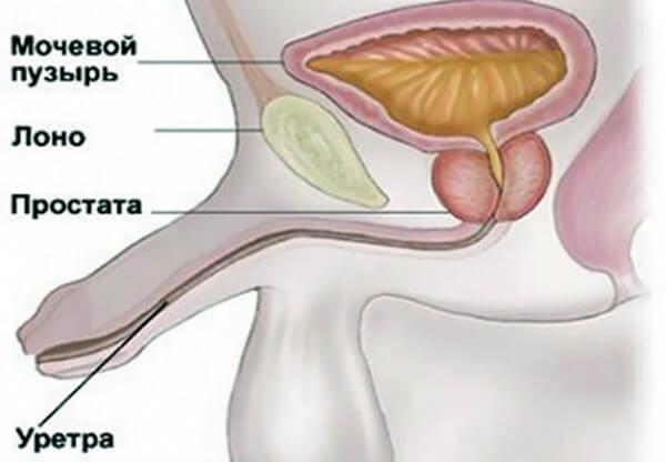 Расположение уретры у мужчин