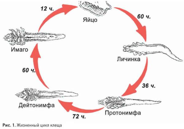 Жизненный цикл демодекса