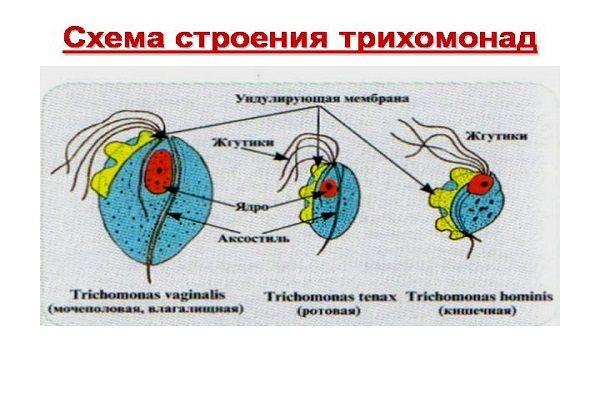 Разновидности трихомонад
