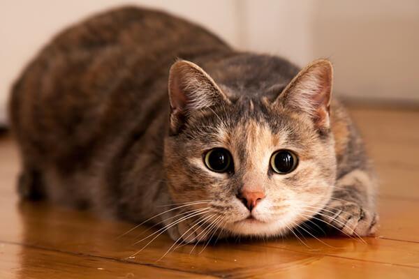 Отличия кошачьих вшей от человеческих