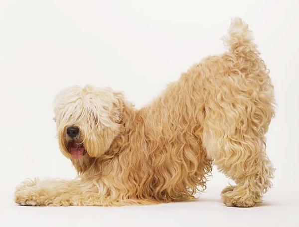 Профилактика педикулеза у собак