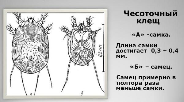 Половые различия чесоточных клещей
