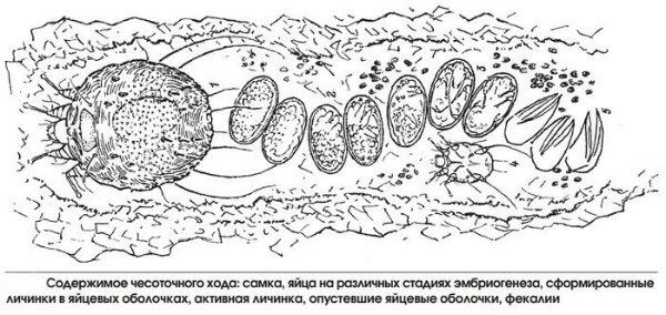 Размножение чесоточных клещей