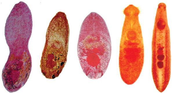 Разновидности трематод