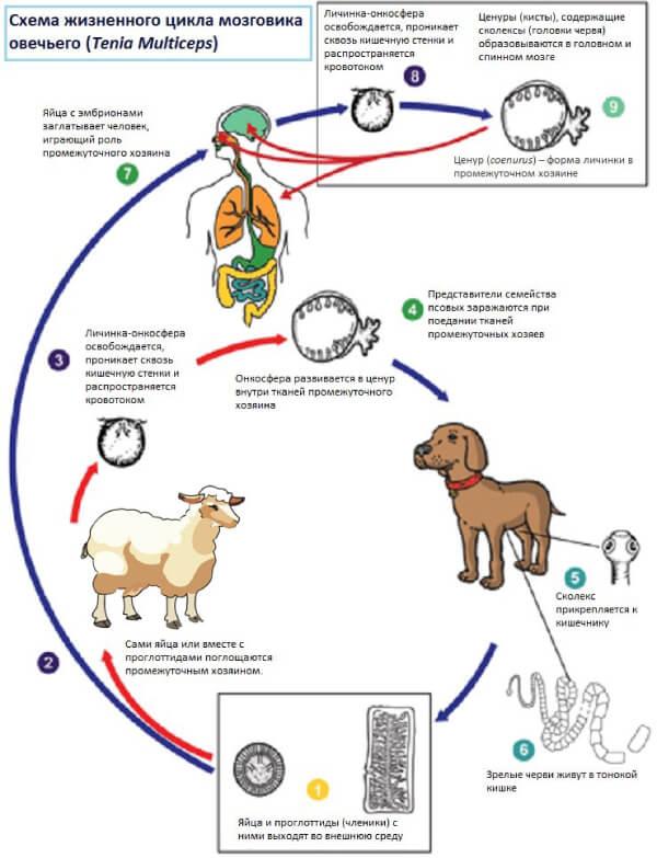 Жизненный цикл мозговика овечьего