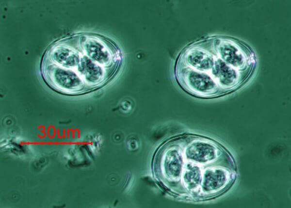 Кокцидии под микроскопом