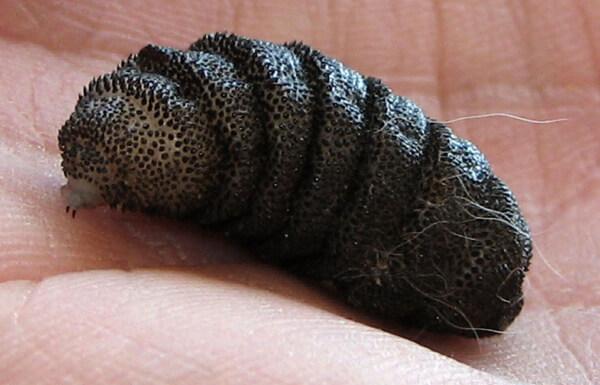 Личинка мухи рода Кутеребра
