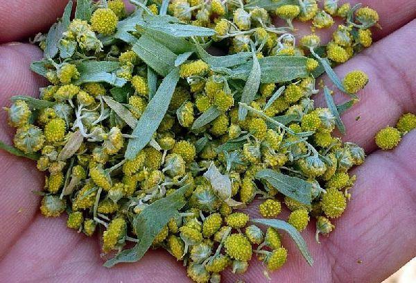 Цветки полыни от паразитов в печени