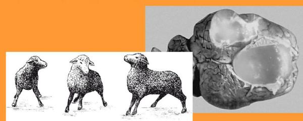 Мозговик овечий у животных