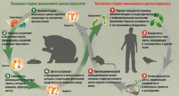 Жизненный цикл кокцидий
