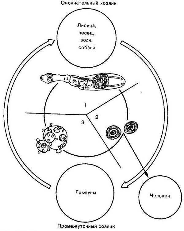 Этапы развития альвеококков