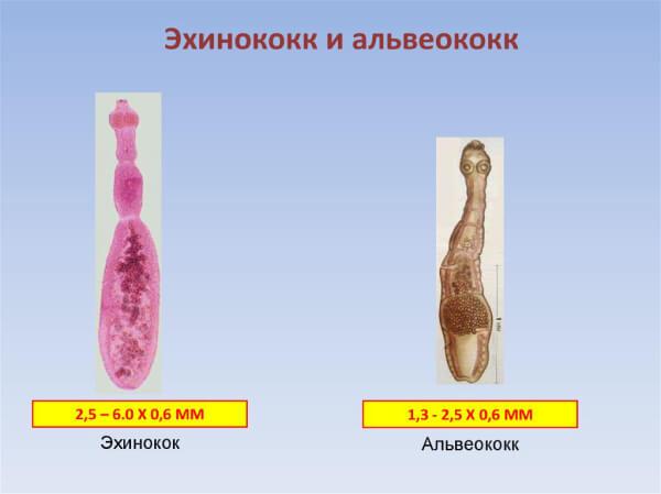 Эхинококк и альвеококк