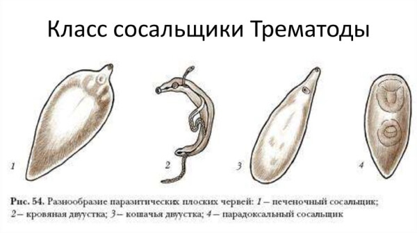Трематоды у людей