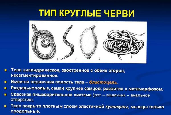 Круглые черви