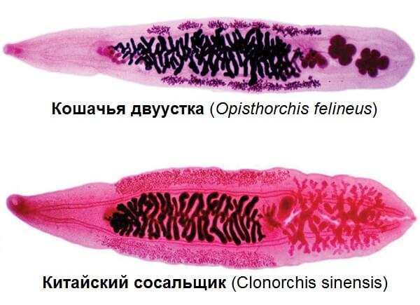 Экорсол при описторхозе и клонорхозе