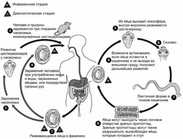 Жизненный цикл карликового цепня