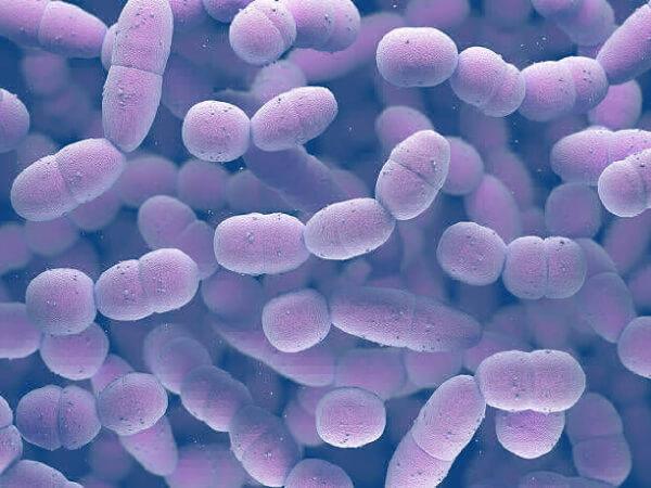 Колония streptococcus pneumoniae