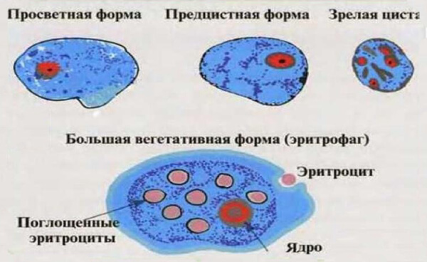 Жизненный цикл дизентерийной амебы