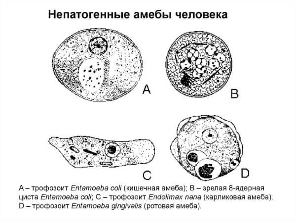 Схематическое строение нескольких видов амеб