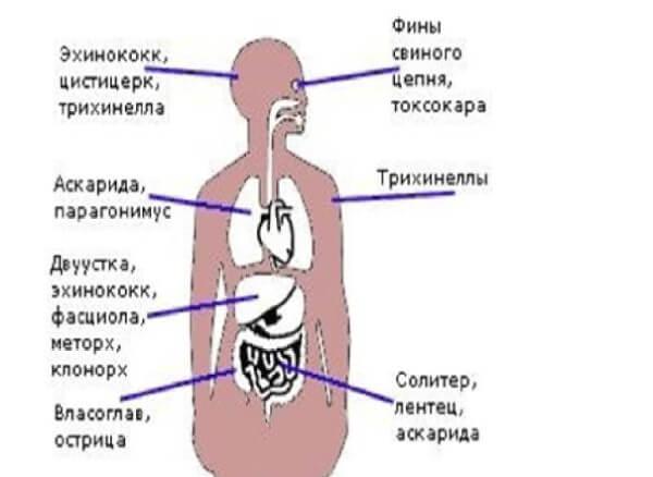 Паразитические черви в организме человека