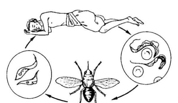Жизненный цикл трипаносом