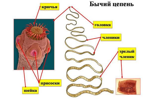 Цепни - одни из самых длинных червей человека