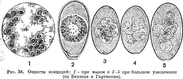 Ооцисты кокцидий