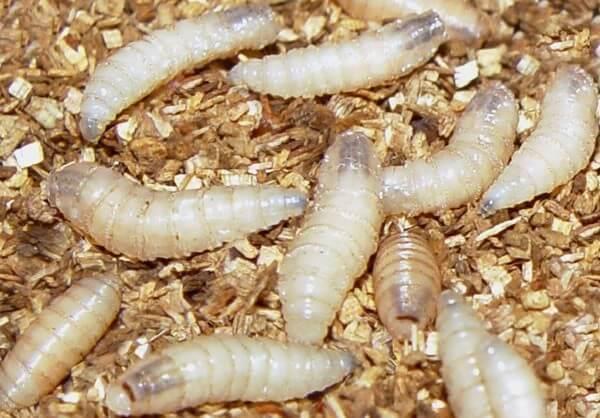 Личинки мух в куриных яйцах