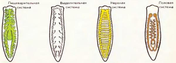 Системы белой планарии