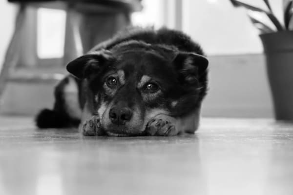Капилляриоз у собак