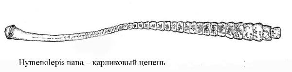 Биогельминт карликовый цепень