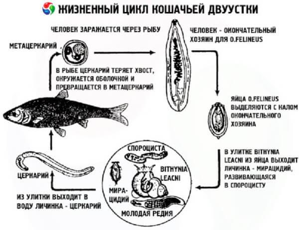 Опасные для человека паразиты в рыбе