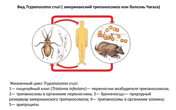 Пути передачи Trypanosoma cruzi
